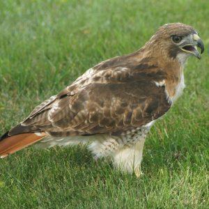 Hawk Exhibit
