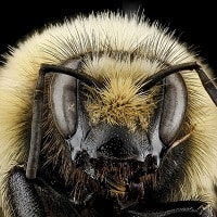 Hunt bumble bee (Bombus huntii) from from the USGS Bee Inventory and Monitoring Lab's Photostream.
