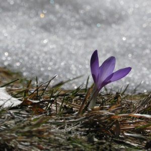 Image of crocus against snow