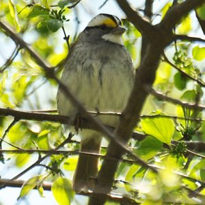 Picture of White Throated Sparrow