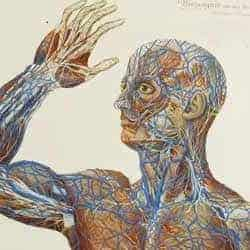 Medical illlustration depicting blood vessels of a human, standing upper torso. From Scultetus' Armamentarium chirurgicum